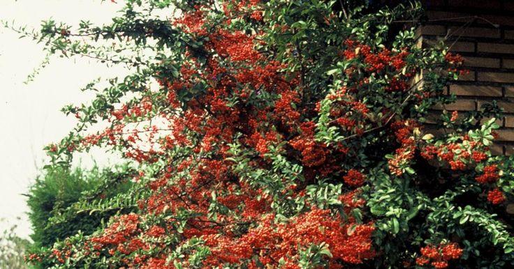 Mit seinen dornigen Zweigen ist der Garten-Feuerdorn (Pyracantha) ein sehr wehrhaftes Gehölz. Die Sorte 'Orange Glow' gilt mit ihren leuchtend orangeroten, lange haftenden Beeren als eine der schönsten.