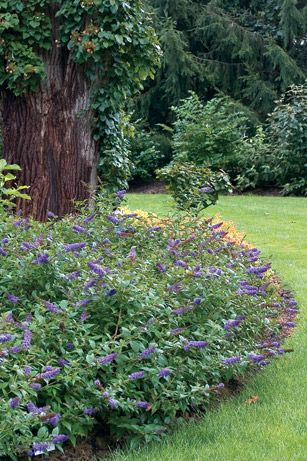 Blue Chip butterfly bush blooms from June to frost, no deadheading, full sun, prune in spring trimming to 12""