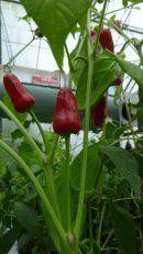 Örtagårdens Plantskola - Kryddor örtkryddor fröer odla vitlök chilipeppar frökataloger - Capsicum annuum