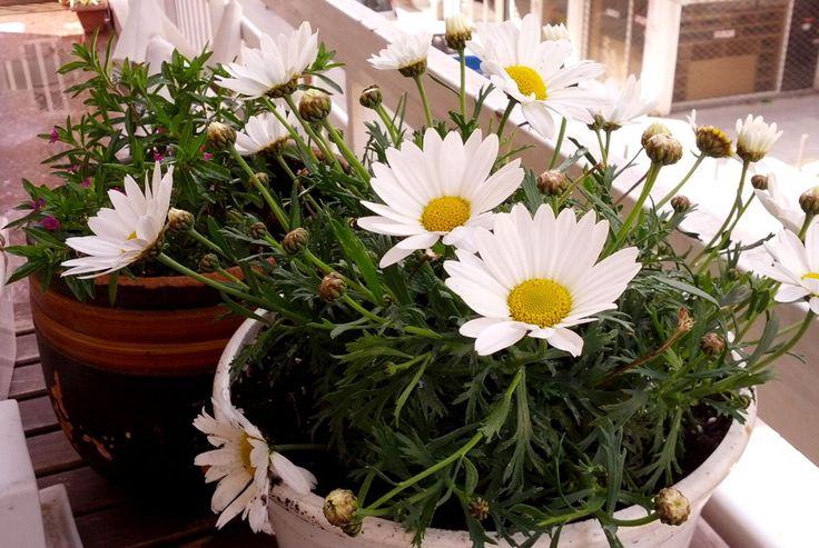 Όλα τα ανοιξιάτικα λουλούδια μαζεμένα σε μία γωνίτσα για να διαλέξεις! Μαργαρίτα