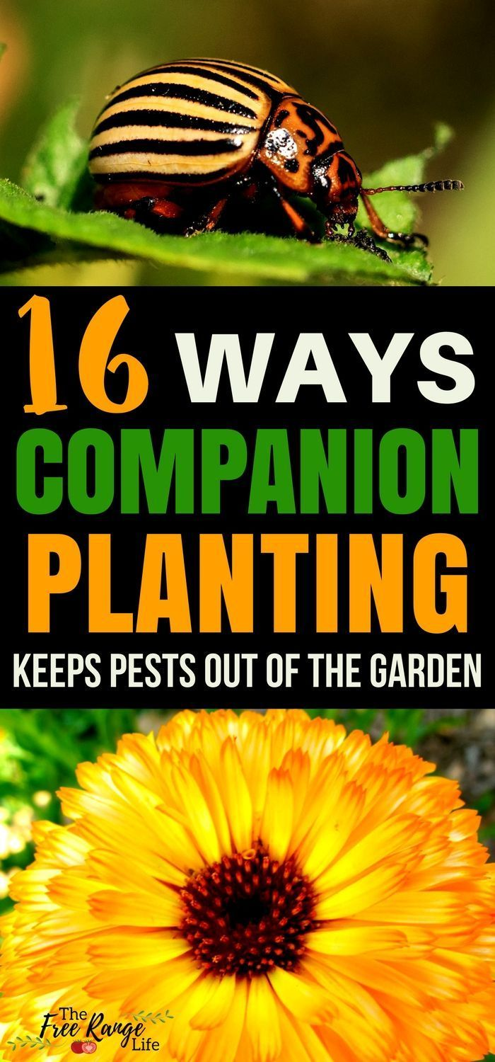 Organic Gardening Tips: Companion planting can help keep bugs out of your garden. Learn 16 of the best plant companions to keep your garden naturally bug free. #organicgardens #OrganicGardening