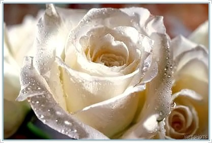 Rosa Branca: White Roses, Pink, Favorite, Flowers, Pretty, Beautiful Rose, Garden