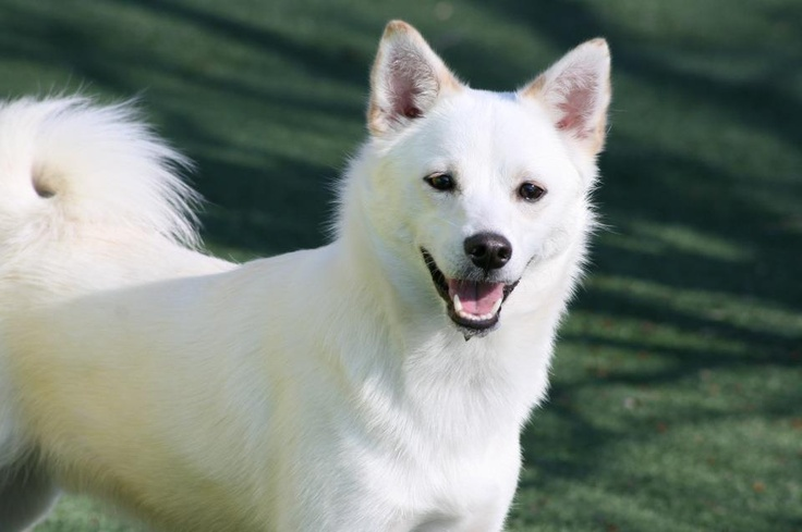 ShibaMo (a Shiba Inu and American Eskimo mix) | Dogs ...
