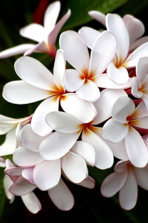 126 best Plumerias images on Pinterest | Plumeria flowers, Exotic ...