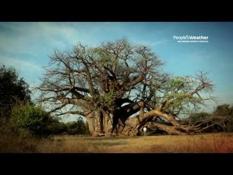 How the baobab came to be in Africa -  Dr Sarah Venter tells the amusing legend of how the baobab got it's name  - The Upside Down Tree - from the People's DSTV Channel  on YouTube