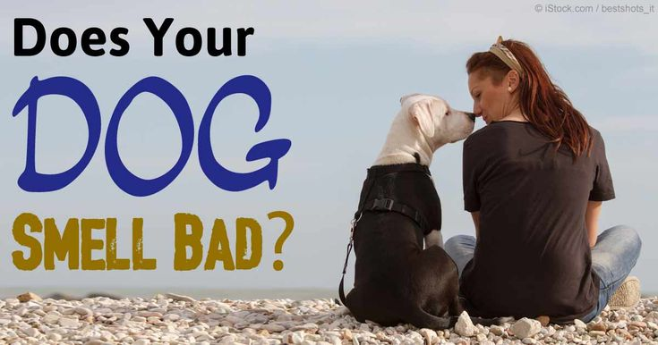 If your healthy dog suddenly turns into a smelly dog, he may be suffering from yeast infection. http://healthypets.mercola.com/sites/healthypets/archive/2012/08/01/healthy-dog-vs-smelly-dog.aspx