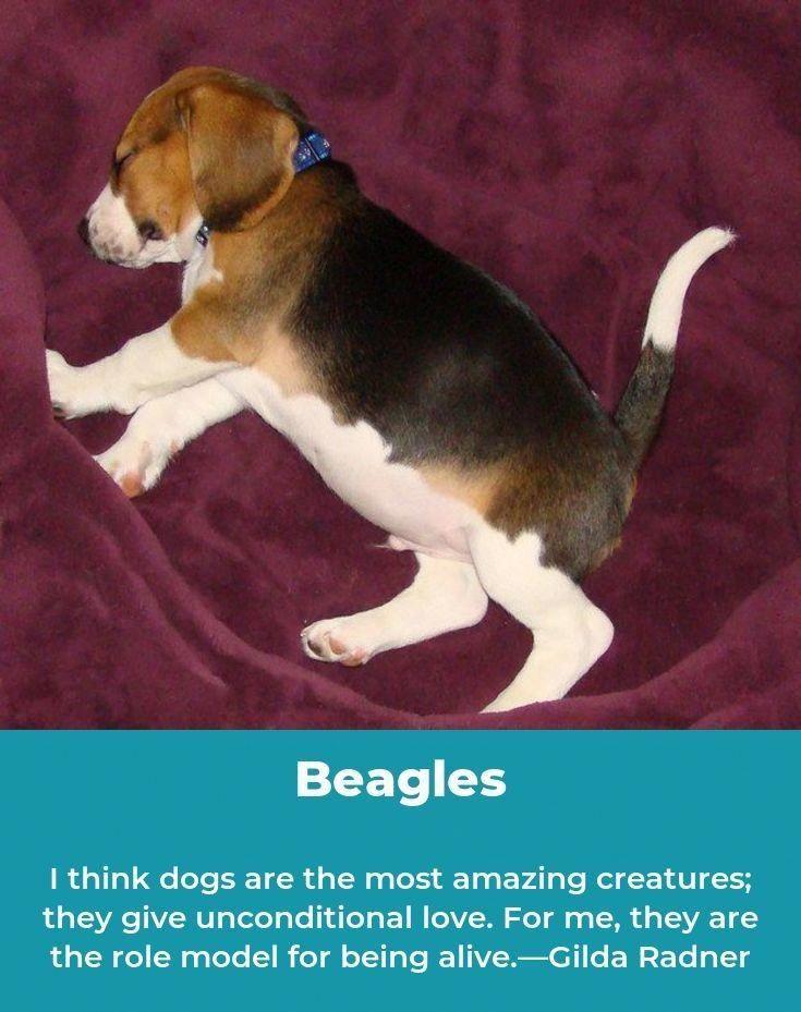 Beagles Forever Beaglepuppy Beagles Names Beagle Beagle Puppy