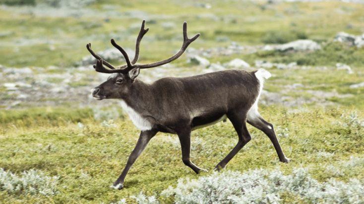 female_reindeer_grow_antlers