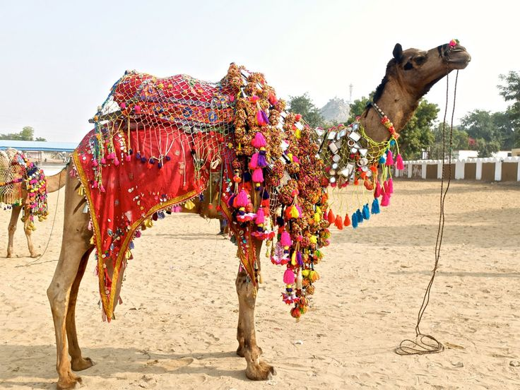Every year in the month of Kartik (Oct/Nov), the tiny town of Pushkar comes alive to host one of the largest Camel Fairs in Asia. Breeders and buyers from across North, West and Central India gather here to showcase, buy and sell camels, horses, cattle, goat and sheep. The fair is notable for its tented accommodation and you can get basic to luxury tents. The days are replete with entertainment for tourists and the cool evenings ring out with song and dance.