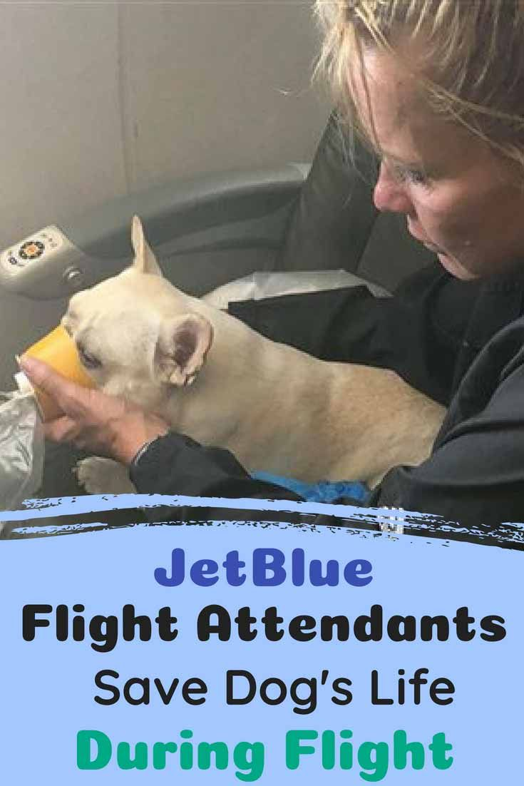 Jetblue Flight Attendants Act Quickly To Assist French Bulldog