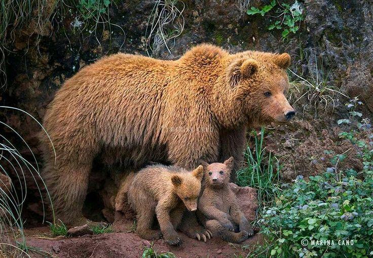 Brown bear mumma and her 2 cubs
