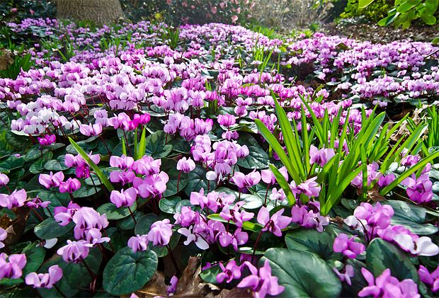 brambořík břečťanolistý (Cyclamen hederifolium)
