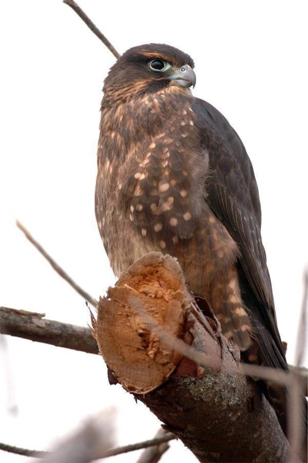 New Zealand Falcon  Karearea Falco novaeseelandiae   Native