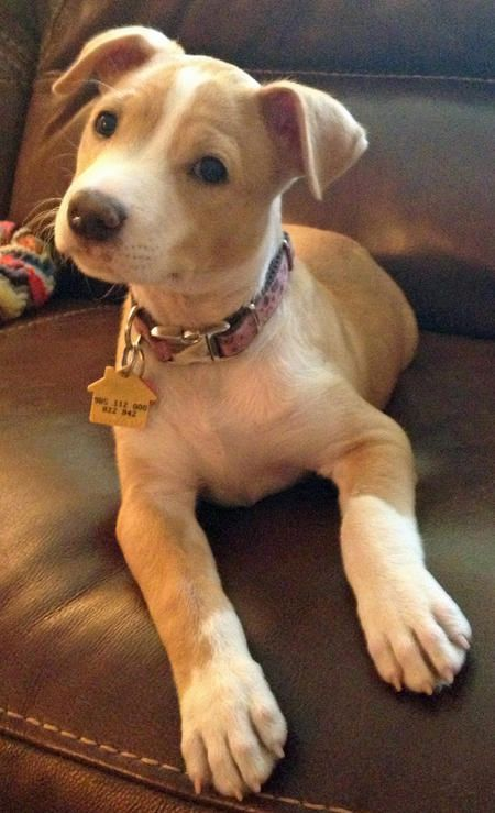 This is how my puppy is but with blue eyes and darker fur! Pitbull & Russell Terrier Mix