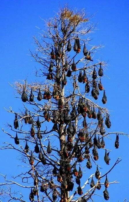 Flying Fox tree is my favorite kind of tree!:)