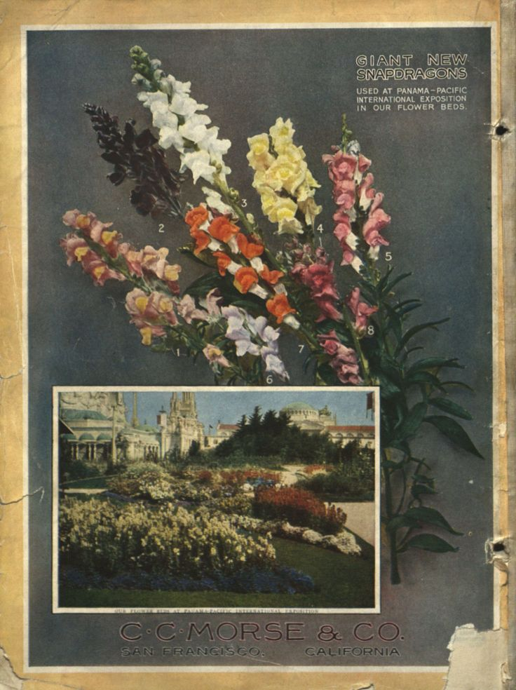 From the collection at Andersen Horticultural Library. Seed catalogs often tout major honors won by that company at recent world's fairs and other horticultural exhibitions. This 1916 publication from Morse Seed Co. highlights the Morse snapdragons featured throughout the grounds at the 1915 Panama-Pacific International Exposition in San Francisco.