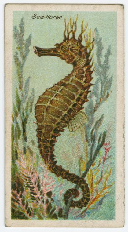 Cigarette card of a seahorse, 1903.