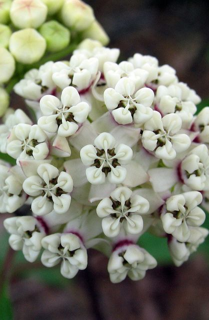 Red Butterfly Milkweed Asclepias Curassavica Red: 66 Best Monarchs & Milkweed Images On Pinterest