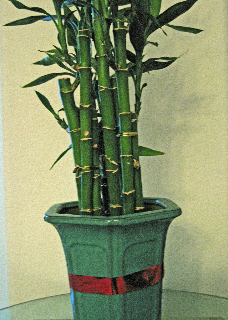 Bamboo Care Indoor Houseplants