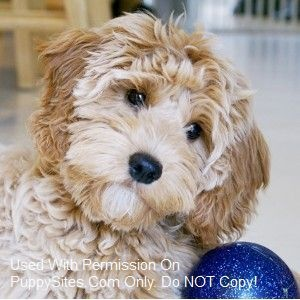 this website literally has links to legit breeders for any kind of goldendoodle or cavapoo!!