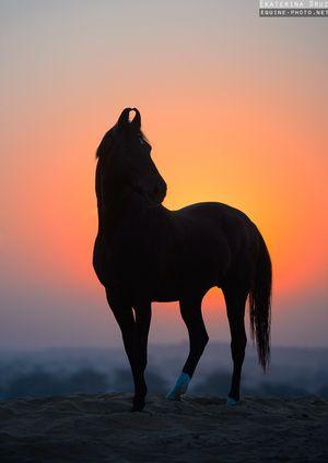Le Marwari - Equine Photo