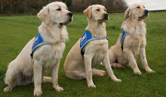 Les chiens guides d'aveugle : des Super Héros