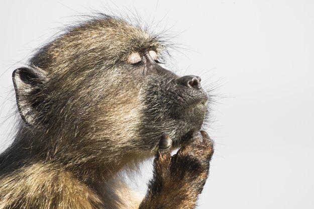 Pavián stratený v myšlienkach - V slnečné dni nie sú paviány príliš aktívne. Keď je slnko najvyššie, väčšina z nich práve odpočíva a vyhrieva sa. (zdroj: Davide Gaglio, Južná Afrika)