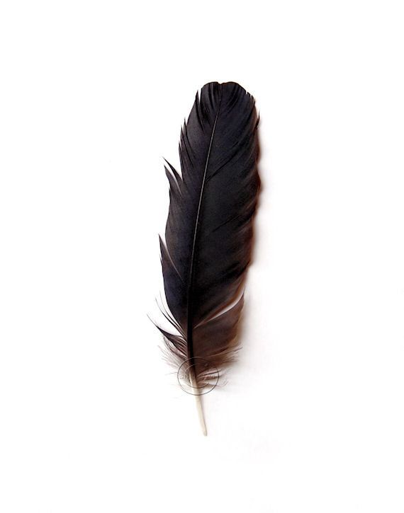 "Crow Feather Canvas Gallery Wrap, 11"" X 14"" Black Feather Art, Fallen and Found Feather, Black and White, Black, White"