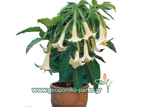Αειθαλείς ανθοφόροι θάμνοι : Ντάτουρα φυτό - Datura arborea - άσπρο άνθος