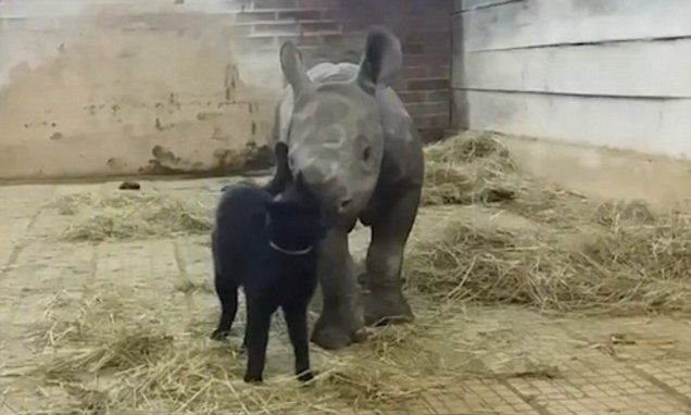 Adorable moment a cat cuddles up with a baby rhino playmate
