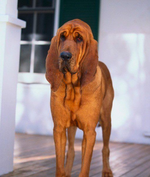 My husband has decided he wants a red bloodhound. Not sure how I feel about it. Lol