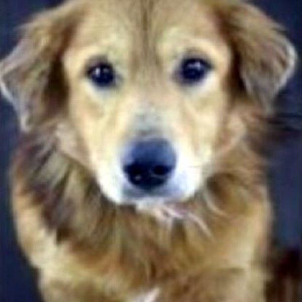 Basset Hound And Golden Retriever Mixed Dog For Adoption In Pennsville New Jersey Bishop In Pennsv In 2020 Dog Adoption Rescue Dogs For Adoption Basset Hound Rescue