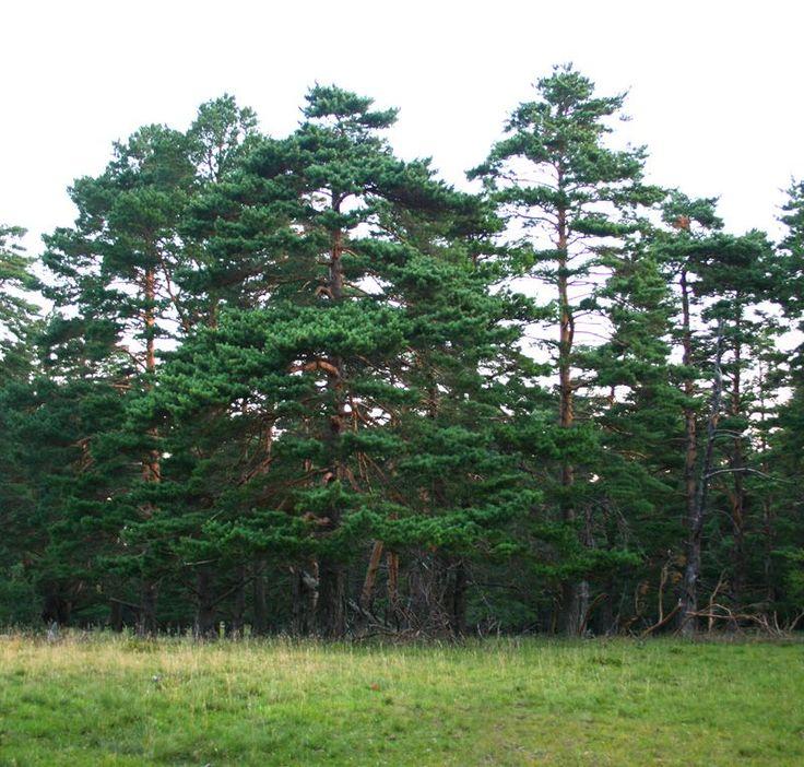 Buy Pinus sylvestris Scots Pine Bare Root online from Jacksons Nurseries