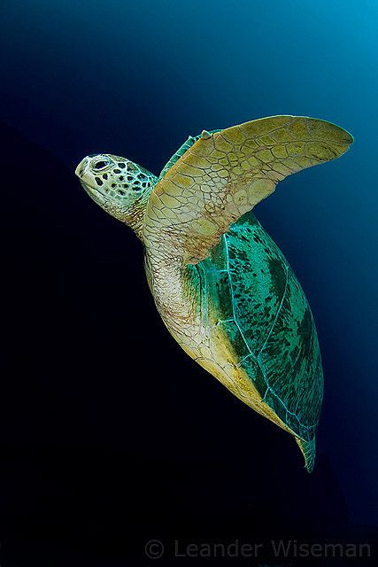 https://flic.kr/p/4UKFDM | Green Turtle @ Sipadan | cruising up out of the blue