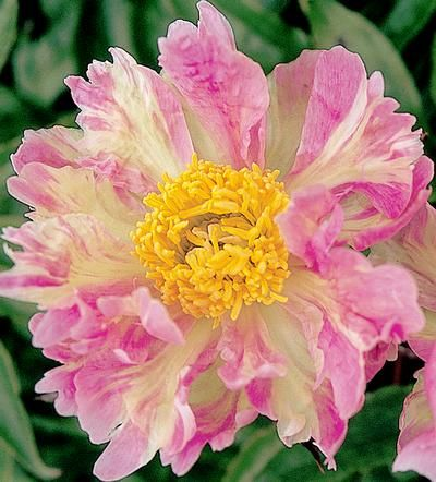 Klehm's Song Sparrow Farm and Nursery--PEONY--'Pink Spritzer'