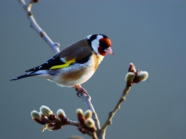 Les 25 meilleures id es concernant chardonneret sur for Oiseaux des jardins belgique