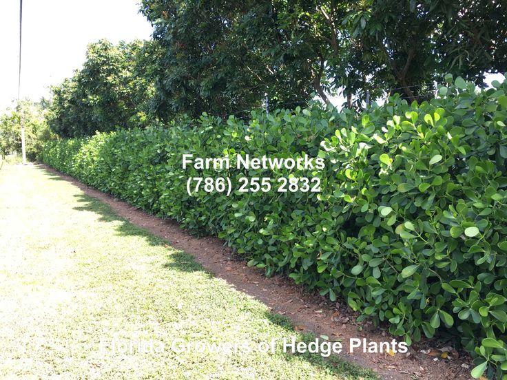 Florida Clusia Hedge