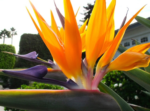an overview of the exotic flower the bird of paradise flower Exotic tropical flower gift boxes from hawaii at  site map includes links and a brief overview of the individual  red ginger bird of paradise.