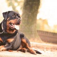 El Rottweiler: cuidados y características