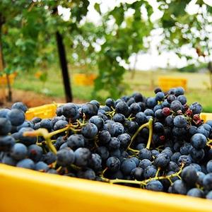 Harvest: Wine Quality, Vineyard Cellars, Beauty Vineyard, Wine Enjoying, Stunning Vineyard, Wine Country, Citywinecellar Com, Cellars Wine, Arrington Vineyard