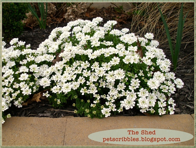 Candytuft: a perennial with white flowers