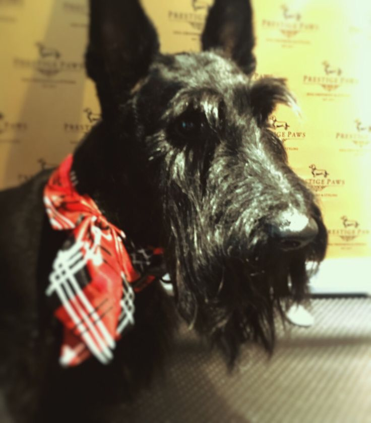 Charlie is our Scottie Weekly Hunk
