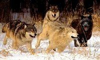 Wolf Behavior, Lupine Behavior Running With The Wolves,Wolf Information & Awareness Center