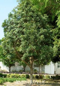 Japanese blueberry tree Monrovia.  47.99 at Bantum Nursery.  large.  full sun.  evergreen.  Design Ideas  With its beautiful foliage, fragrant flowers and winter fruit, this is an excellent tree for the large garden or lawn. Give it room to spread.