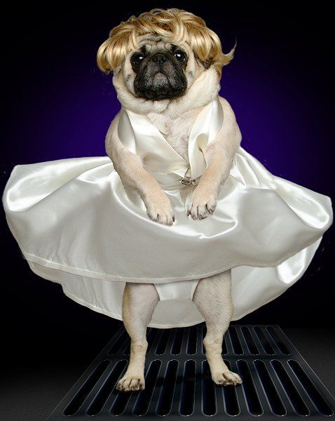 marilyn monroe's 7 year itch- good thing that pug's got panties on!