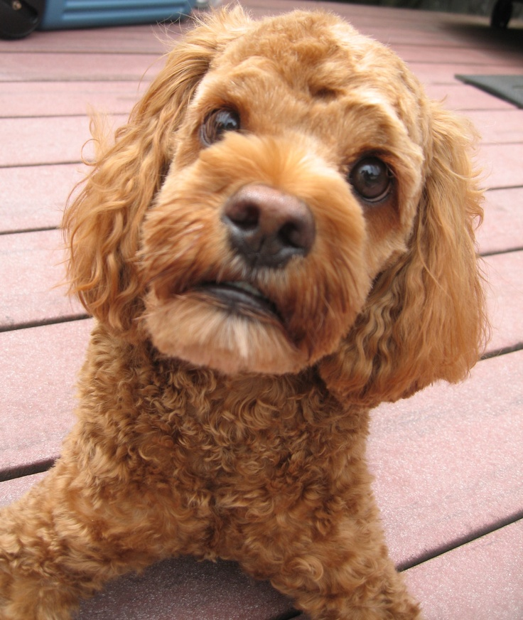 My cutest puppy after grooming.. cockapoo Dogs and