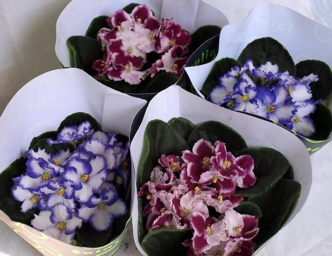Цветы фиалки купить советский, цветов магазинах