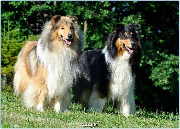 Красивые собаки и щенки которые поднимают настроение  #настроение #пятница #добро #животные #россия #самоед #шелти #чихуа #щенки #собака #собаки #москва #спб #тула #самара #dogs #doggy #dog #animals #pet #pets #animal #russia #moskow #cute #cuttie