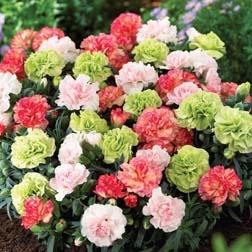 Dianthus 'Pink-Pistachio' Mixed Carnation plants