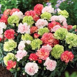 Dianthus 'Pink-Pistachio' Mixed Carnation plants